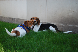 Beagles Daisy, left, and Kelly, right, get to know each other Sunday in the pet park of Regina Hall South at Saint Mary's College. The dogs are roommates to Cassandra Jerkovic and Meghan O'Rourke, Saint Mary's seniors. This is the first year Saint Mary's