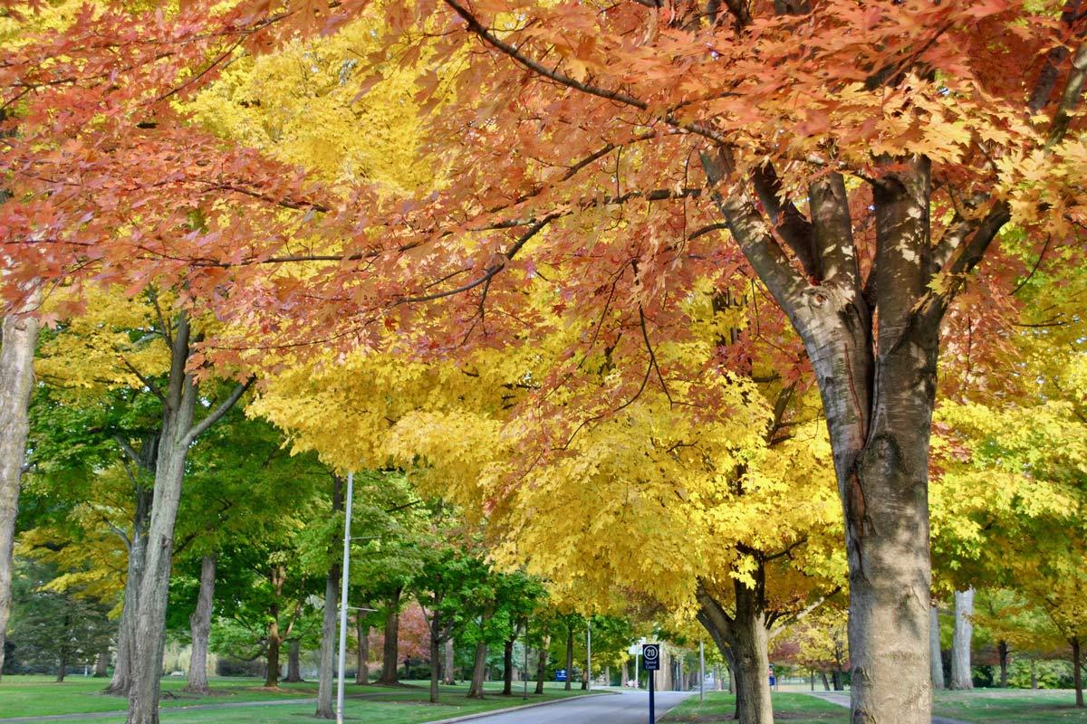Fall trees on The Avenue